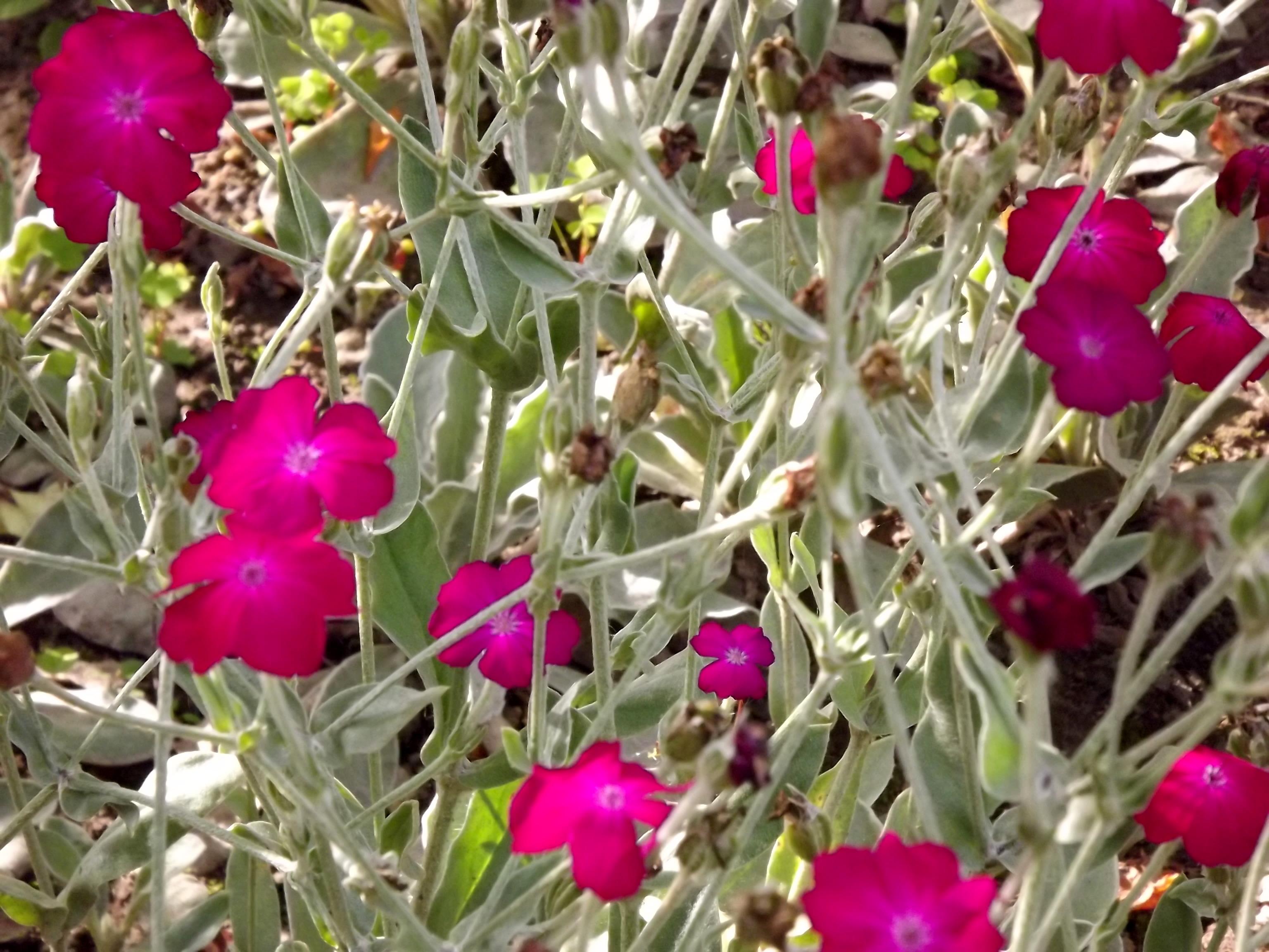 6280-bodendecker-grau-gruen-rosa-blueten