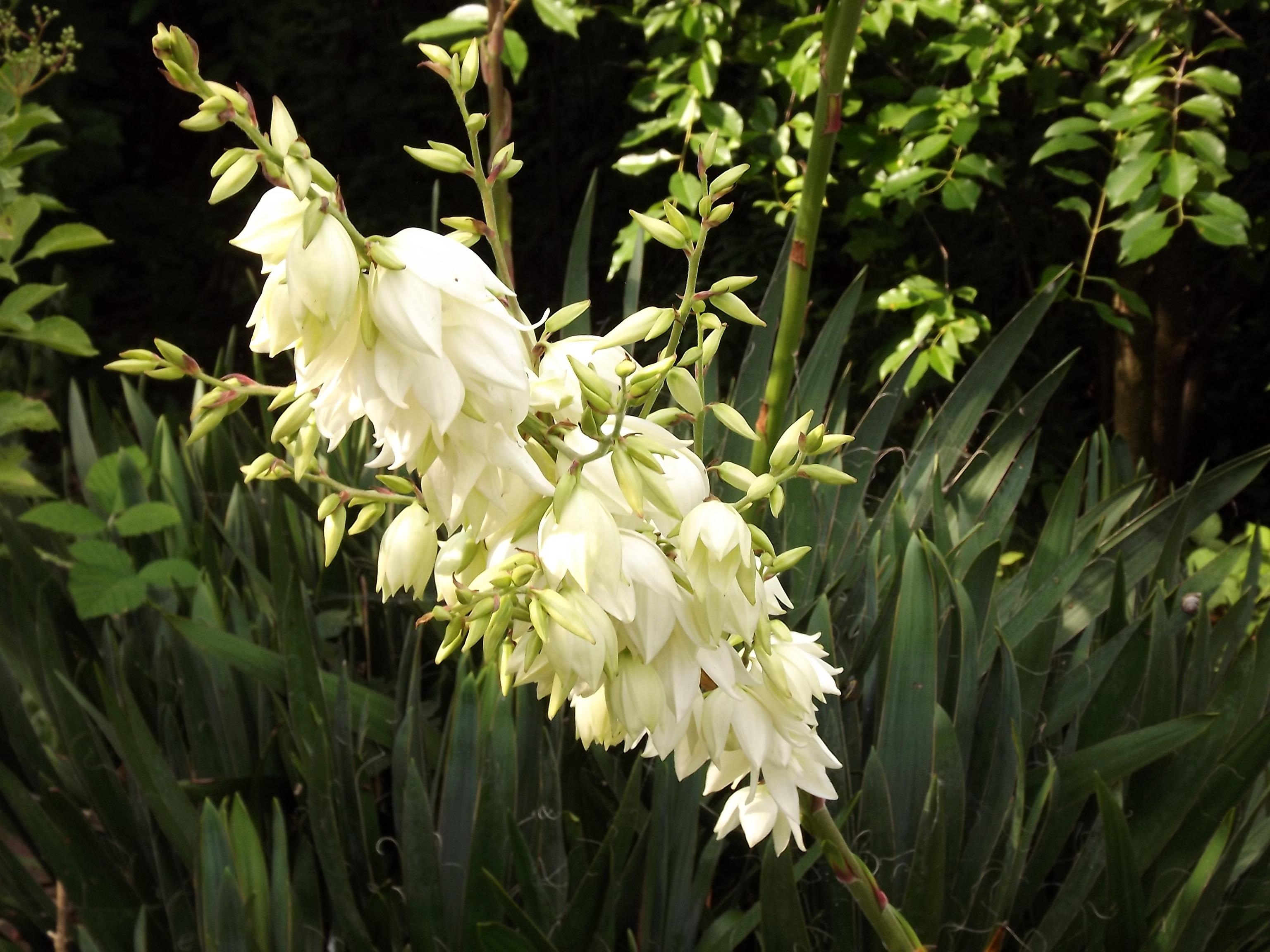 6288-palmlilie