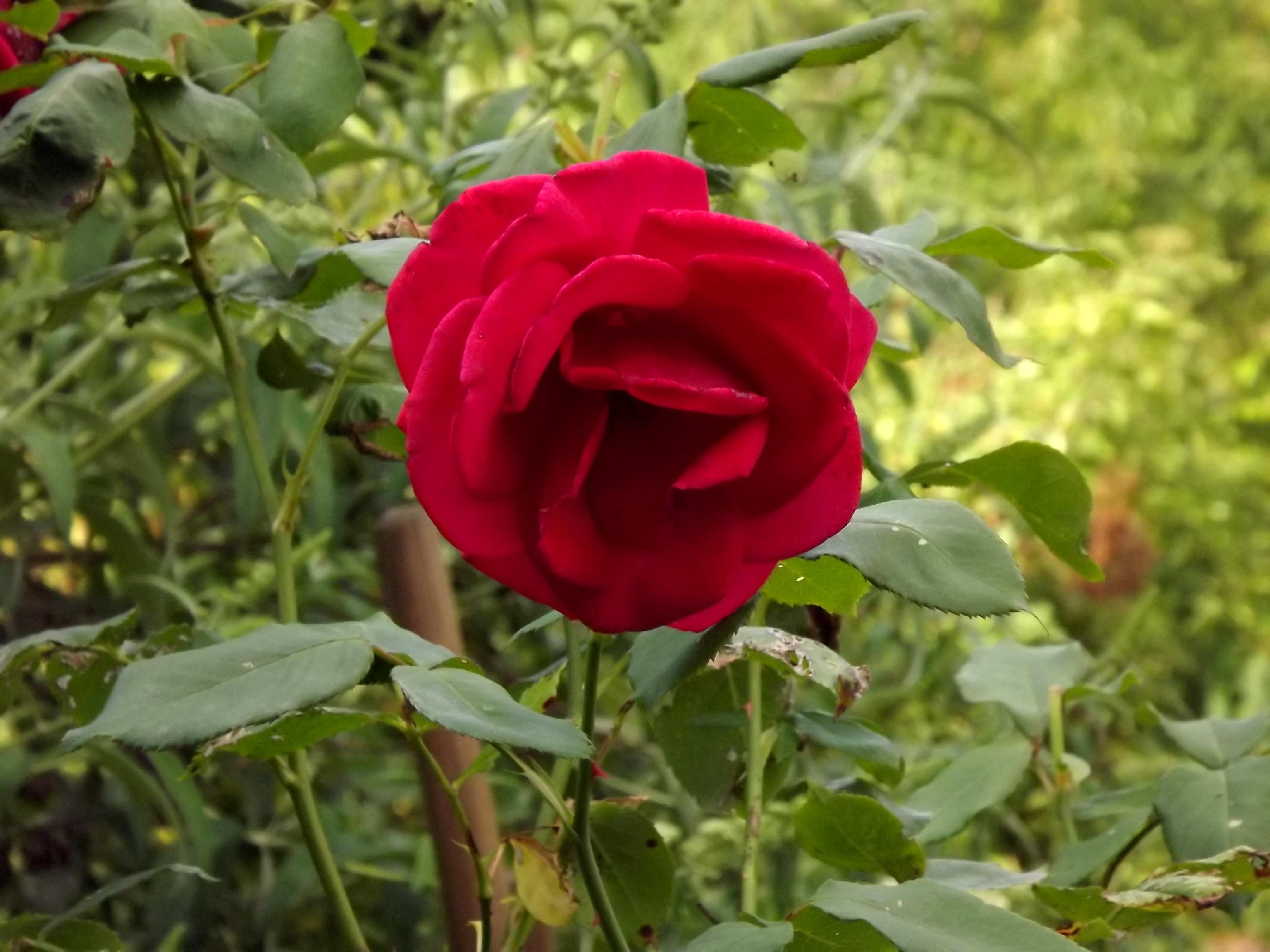 6301-rote-rose-nahaufnahme
