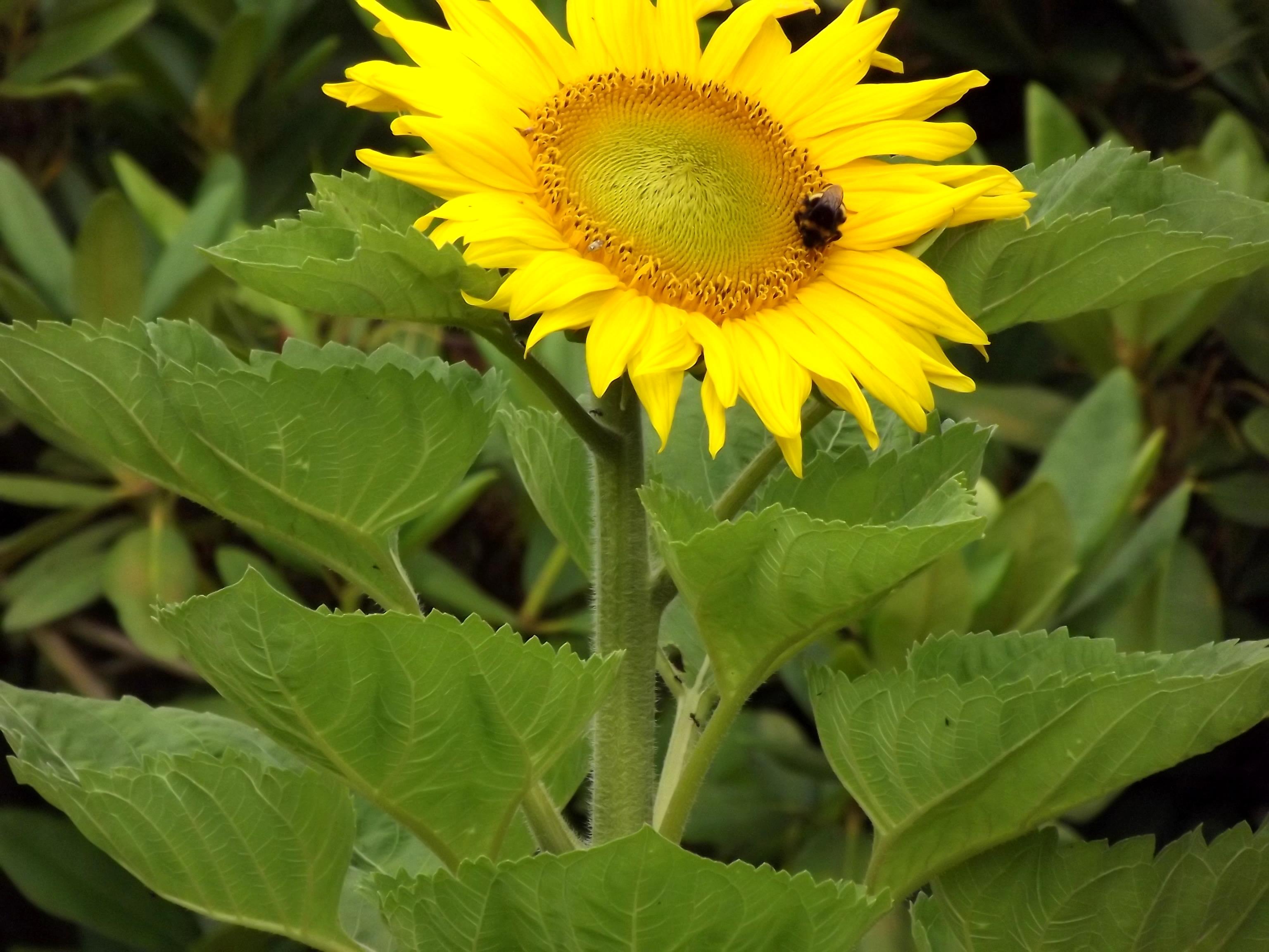 6345-sonnenblume-nahaufnahme