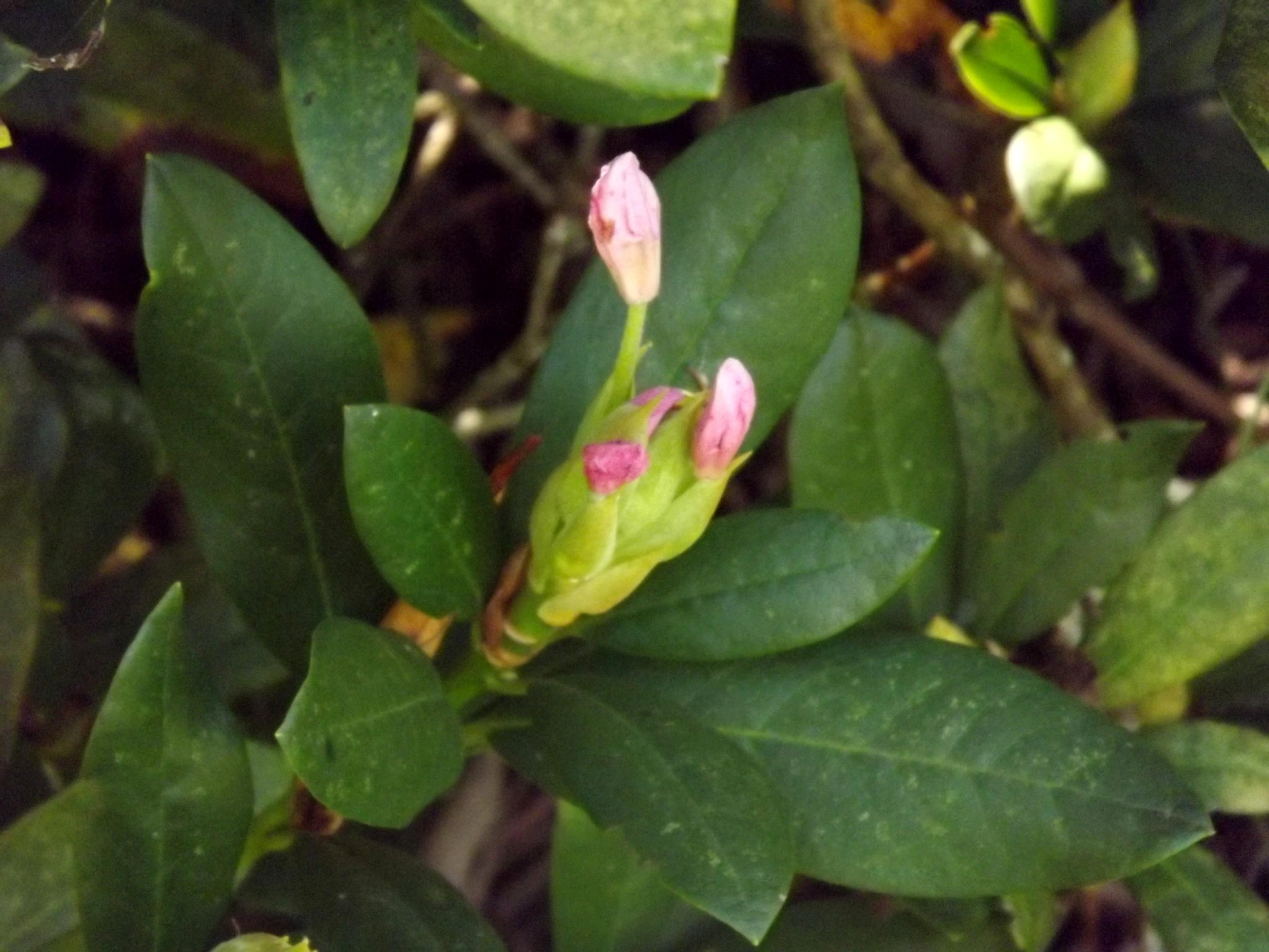 6455-aufbluehende-knospen-rohdodendron