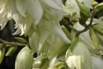 6289-palmlilien-blueten-nah