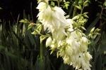 6292-palmlilie-bluetenstaengel