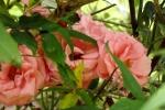 6305-rosa-rosen