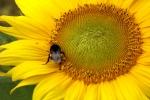 6346-sonnenblume-makro
