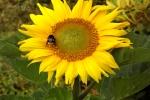 6347-sonnenblume-mit-hummel
