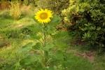 6351-sonnenblume