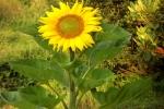 6352-sonnenblume