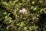 6362-rosa-bueten-strauch