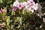 6363-rosa-bueten-strauch