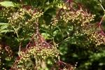 6365-gruene-hollunderbeeren