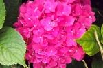 6369-hortensien-bluehte-nahaufnahme