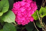 6370-hortensien-bluehte-nahaufnahme