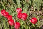 8539-tulpen-rot-zwei-reihen