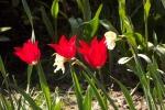 8550-tulpen-rot-in-reihe