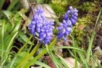 9150-fuer-traubenhyazinthen-blau