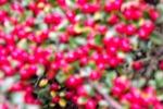 4347-bodendecker-rote-beeren-unscharf