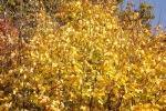 8104-ahorn-goldenerherbst