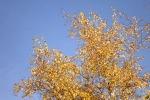 8109-birke-goldener-herbst