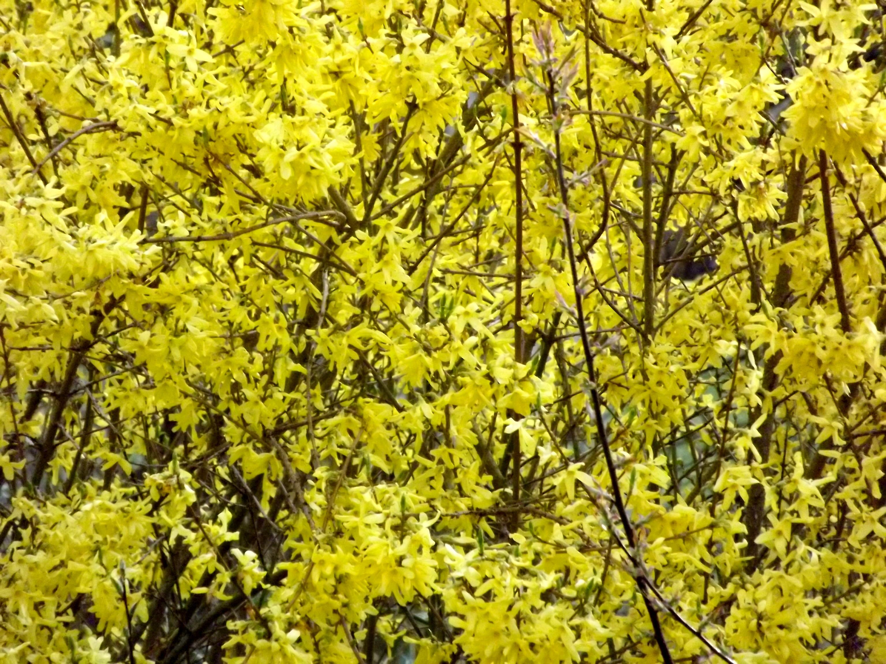 3625-forsitien-gold-gelb-vorhang
