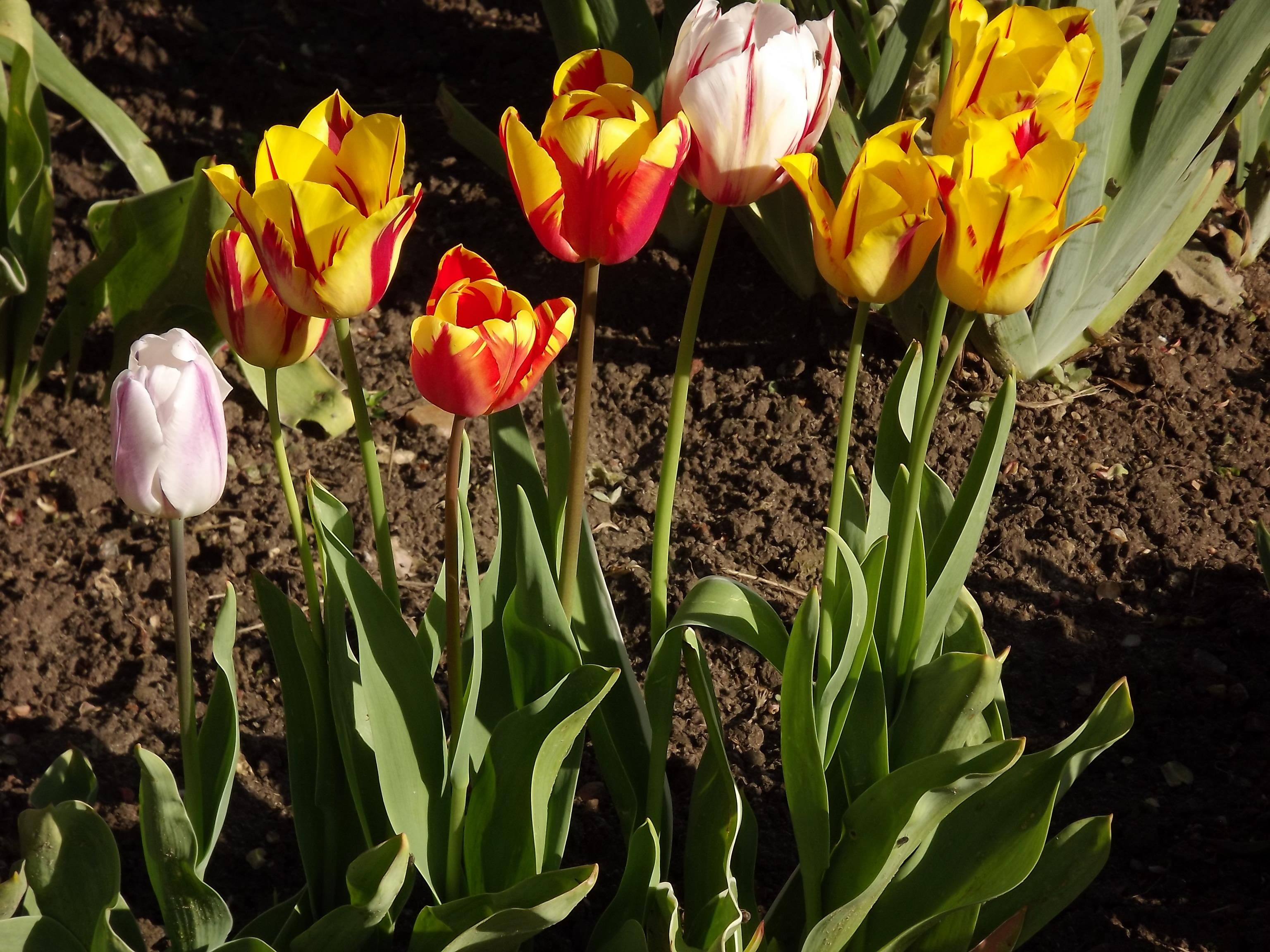 3674-rembrandt-tulpen