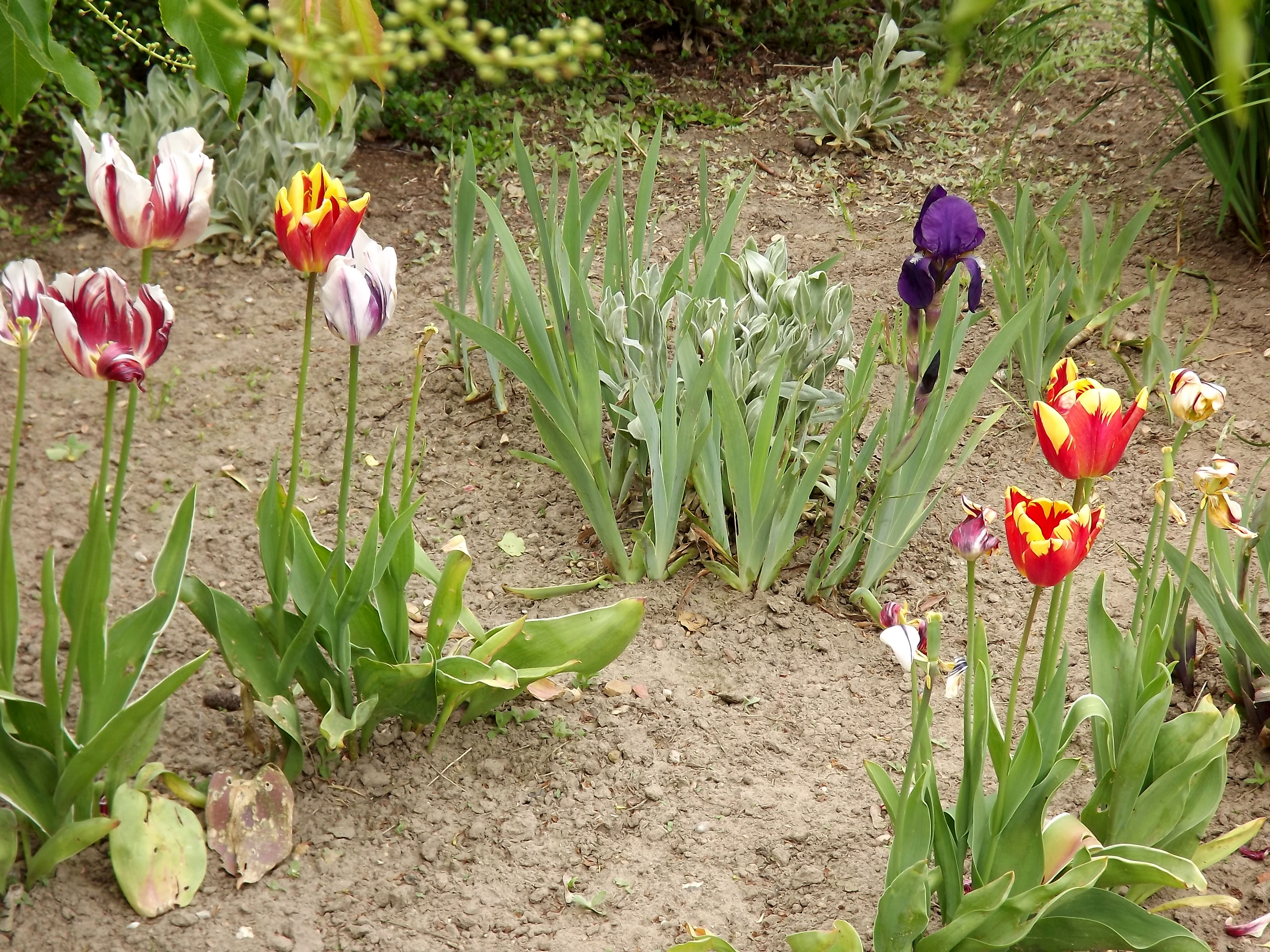 3702-tulpen-rembrandt