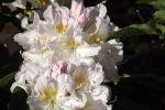 3684-weisser-rhododendron