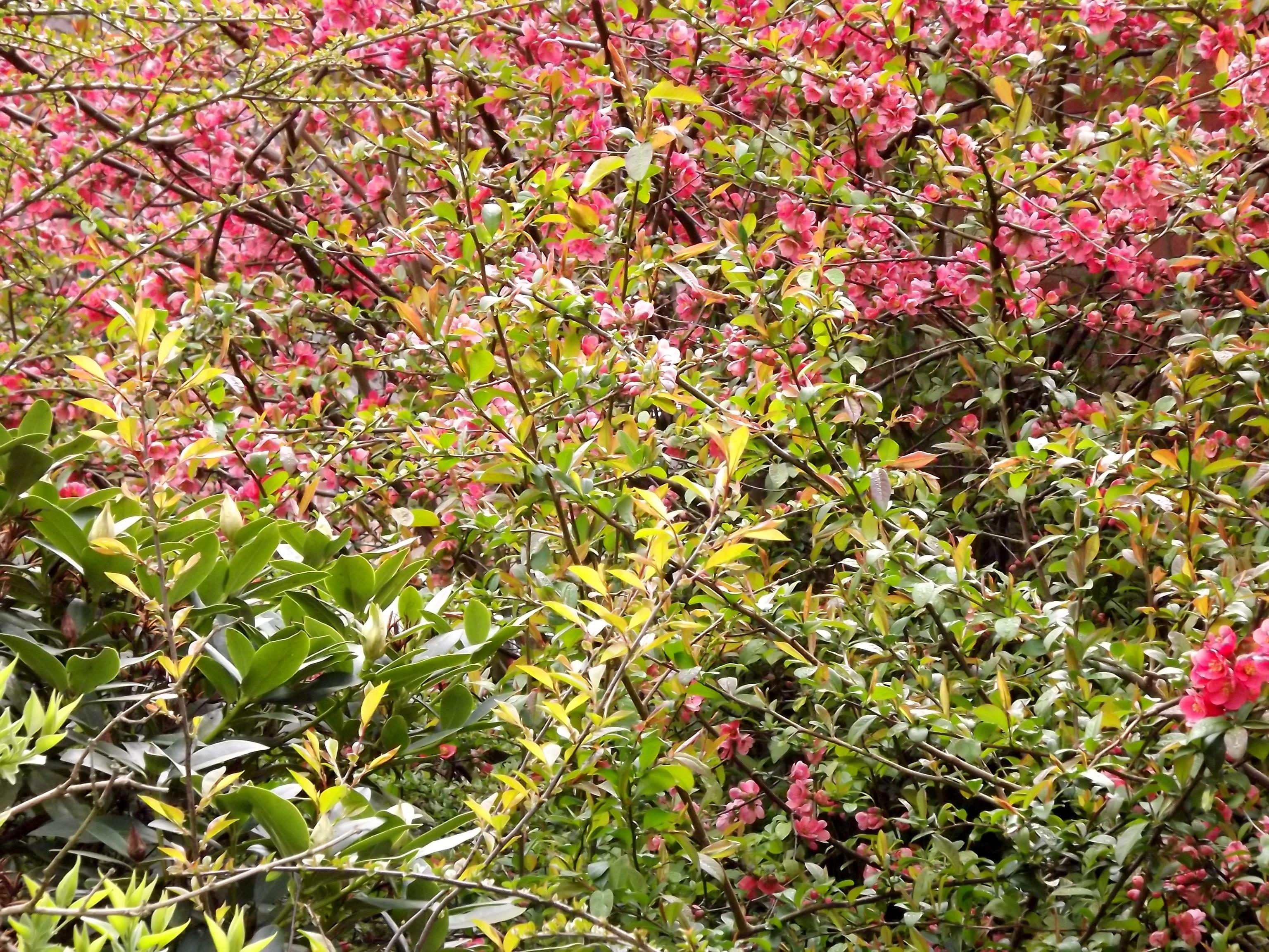 5875-quitten-blueten-blaetter-rosa-gruen-verlauf