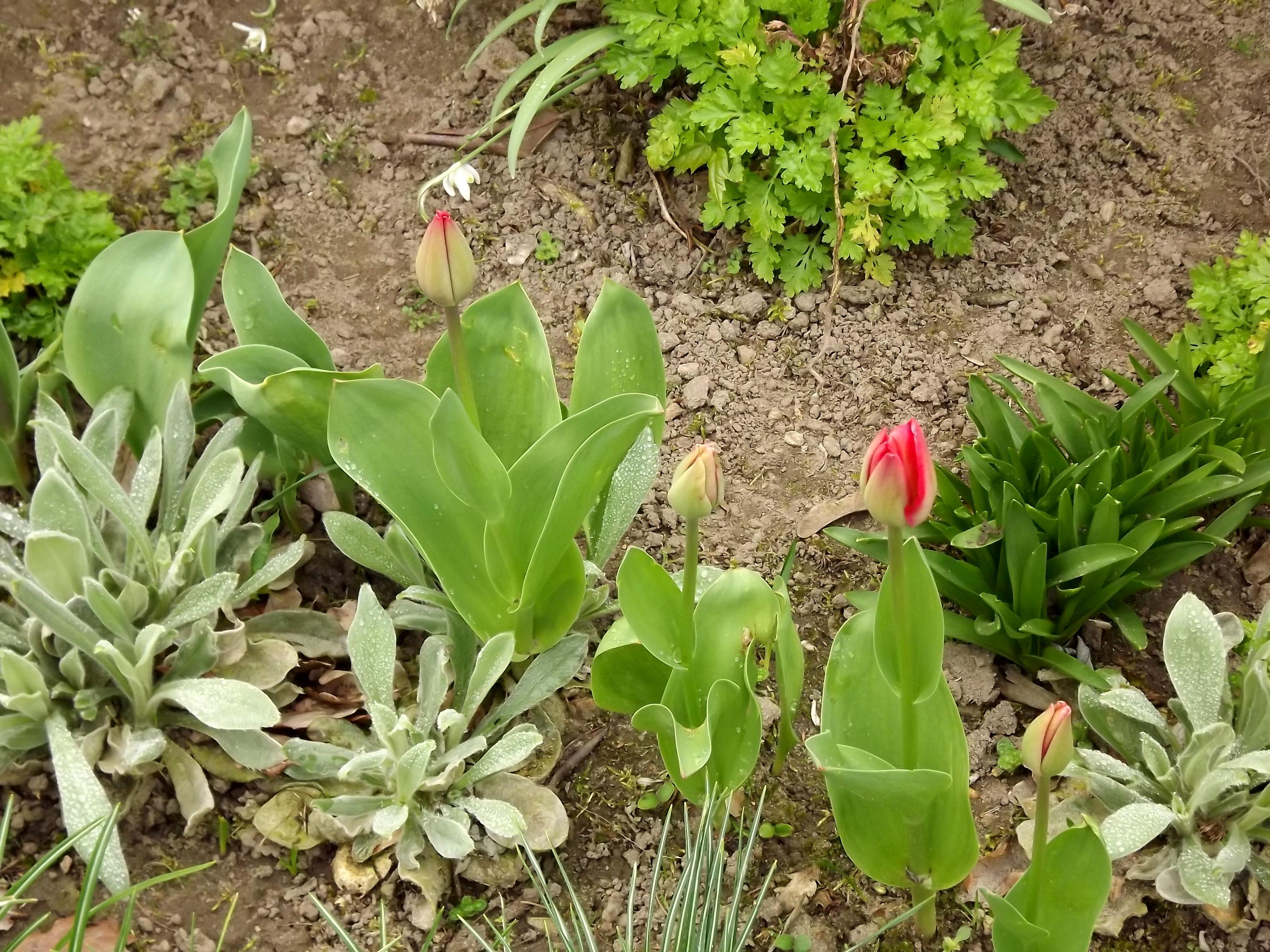 5894-aufbluehende-tulpen