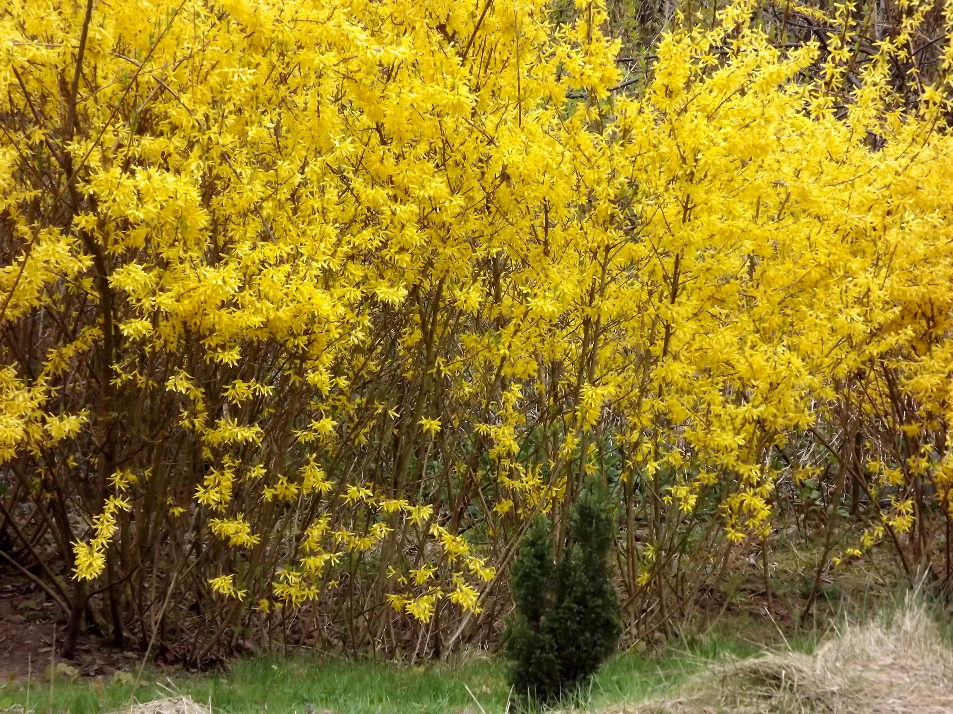 5901-gelb-bluehendes-gebuesch