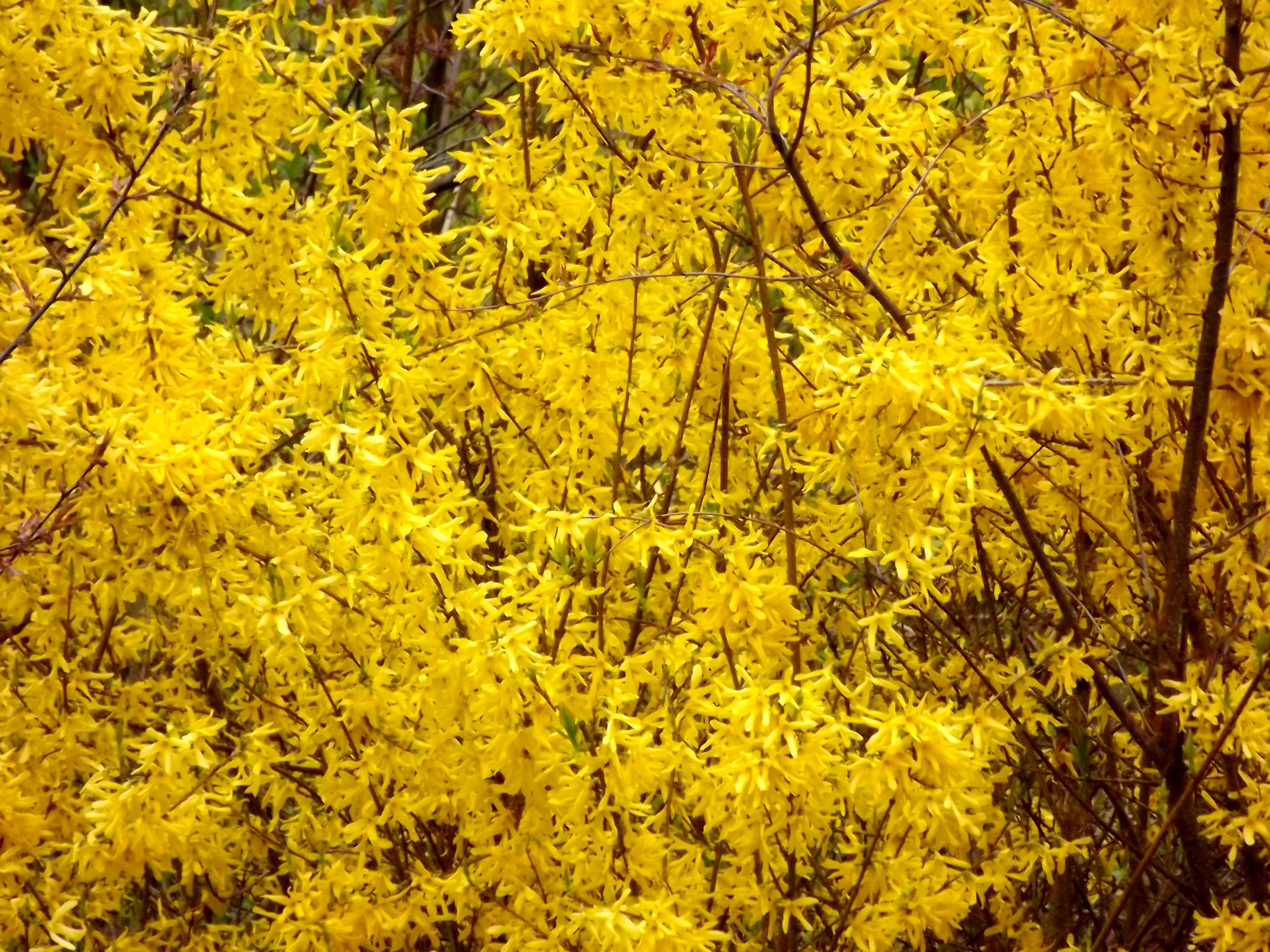 5903-gelb-bluehendes-gebuesch