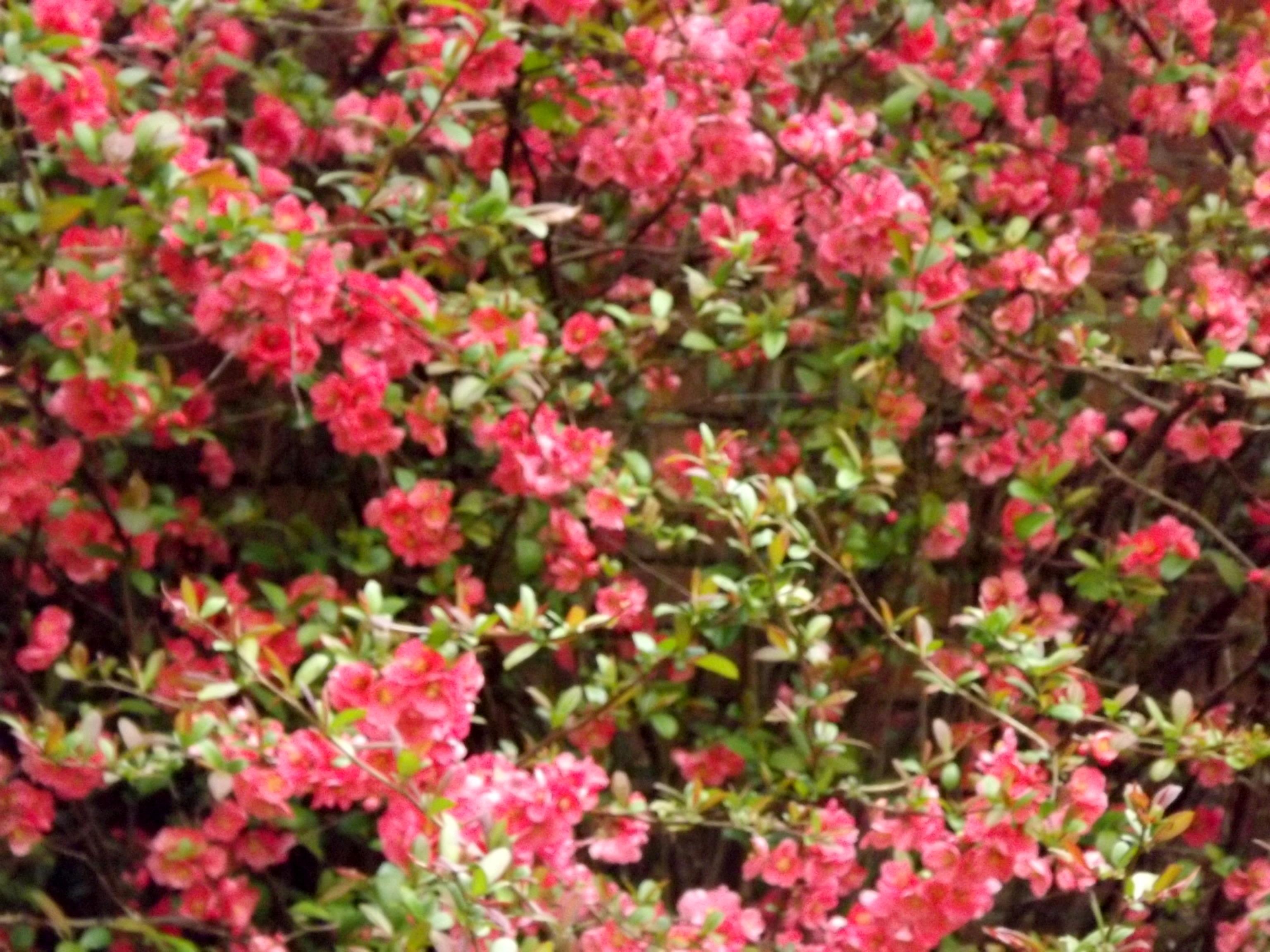 5911-rosa-quitten-blueten