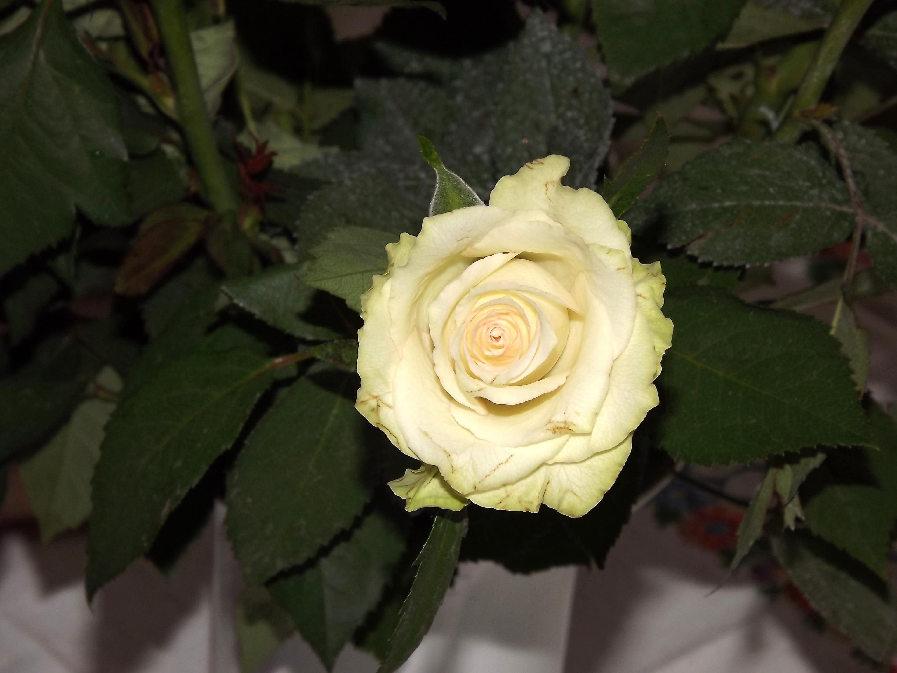 5972-weisse-gruene-rose
