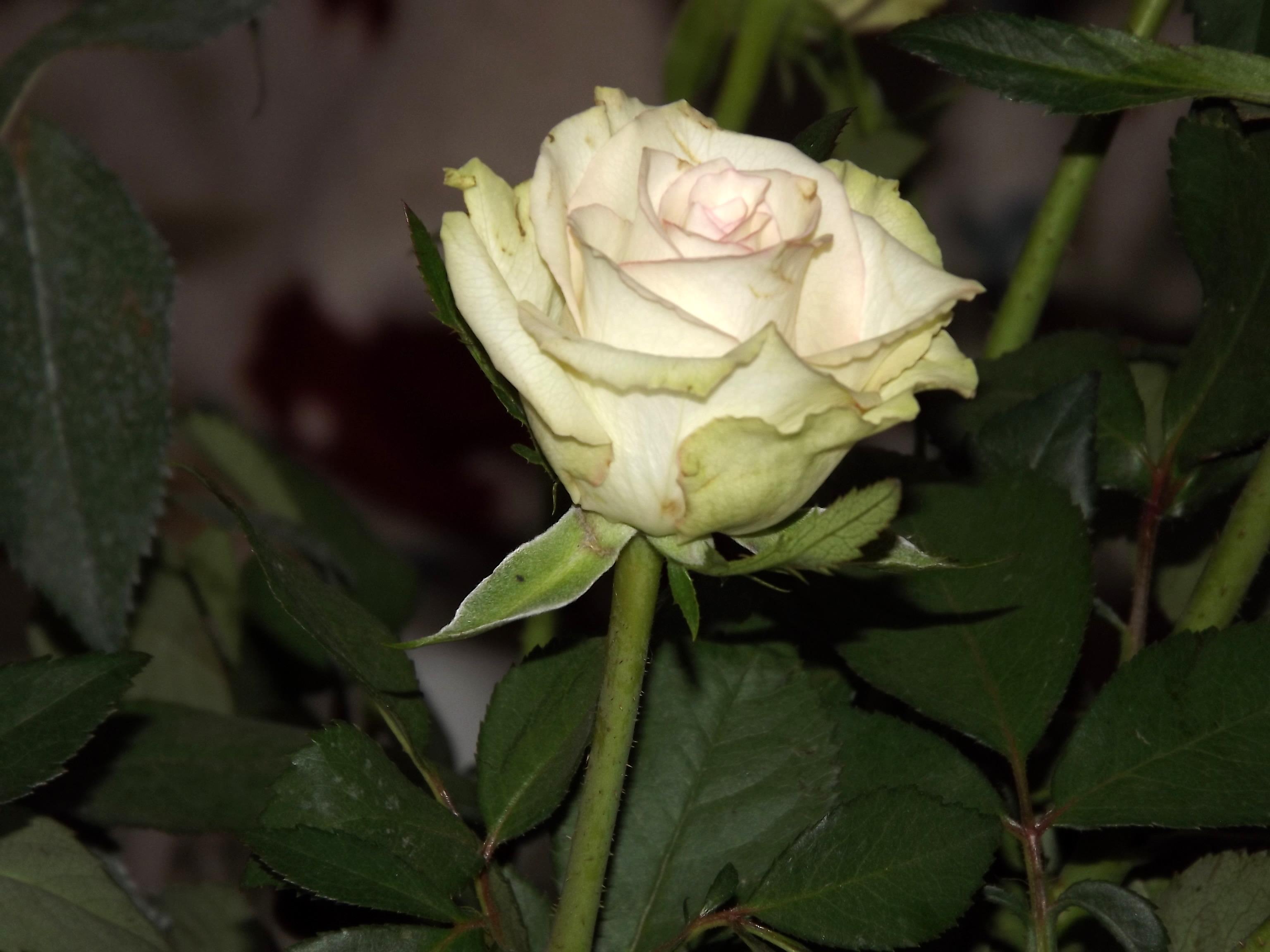 5974-weisse-gruene-rose