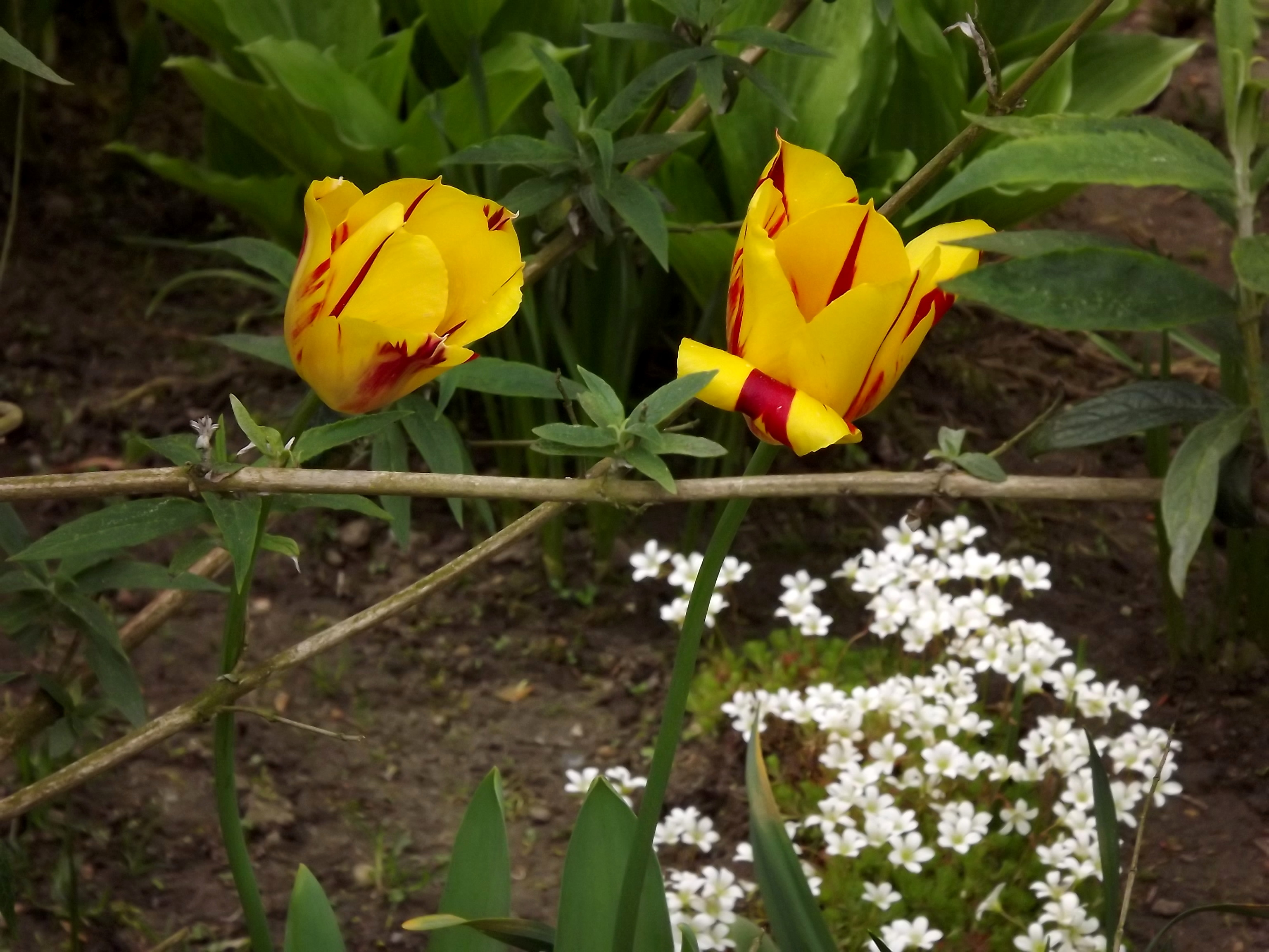 5988-rembrandt-tulpe