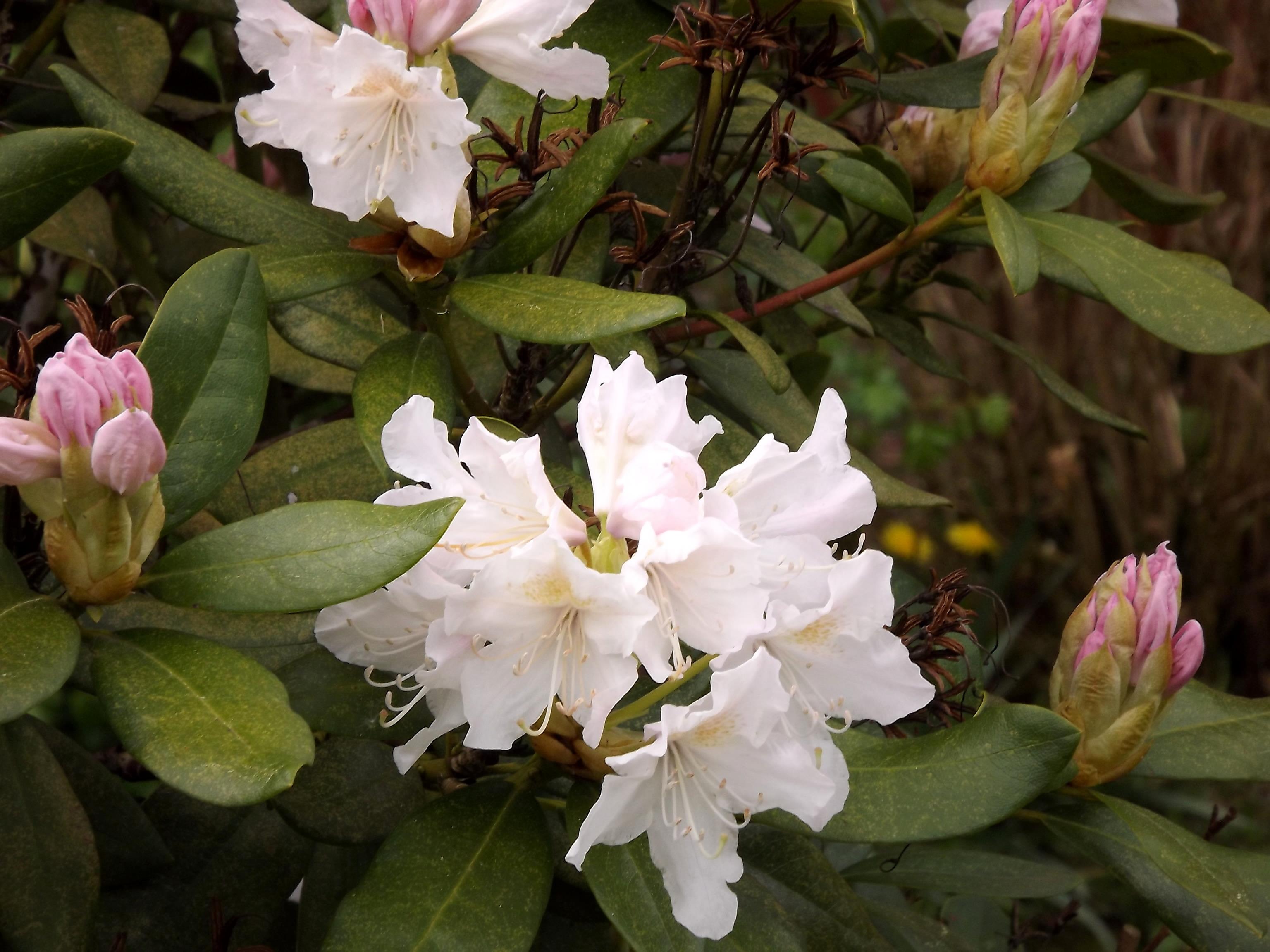 5991-rhododendron-weiss-rosa-blueten