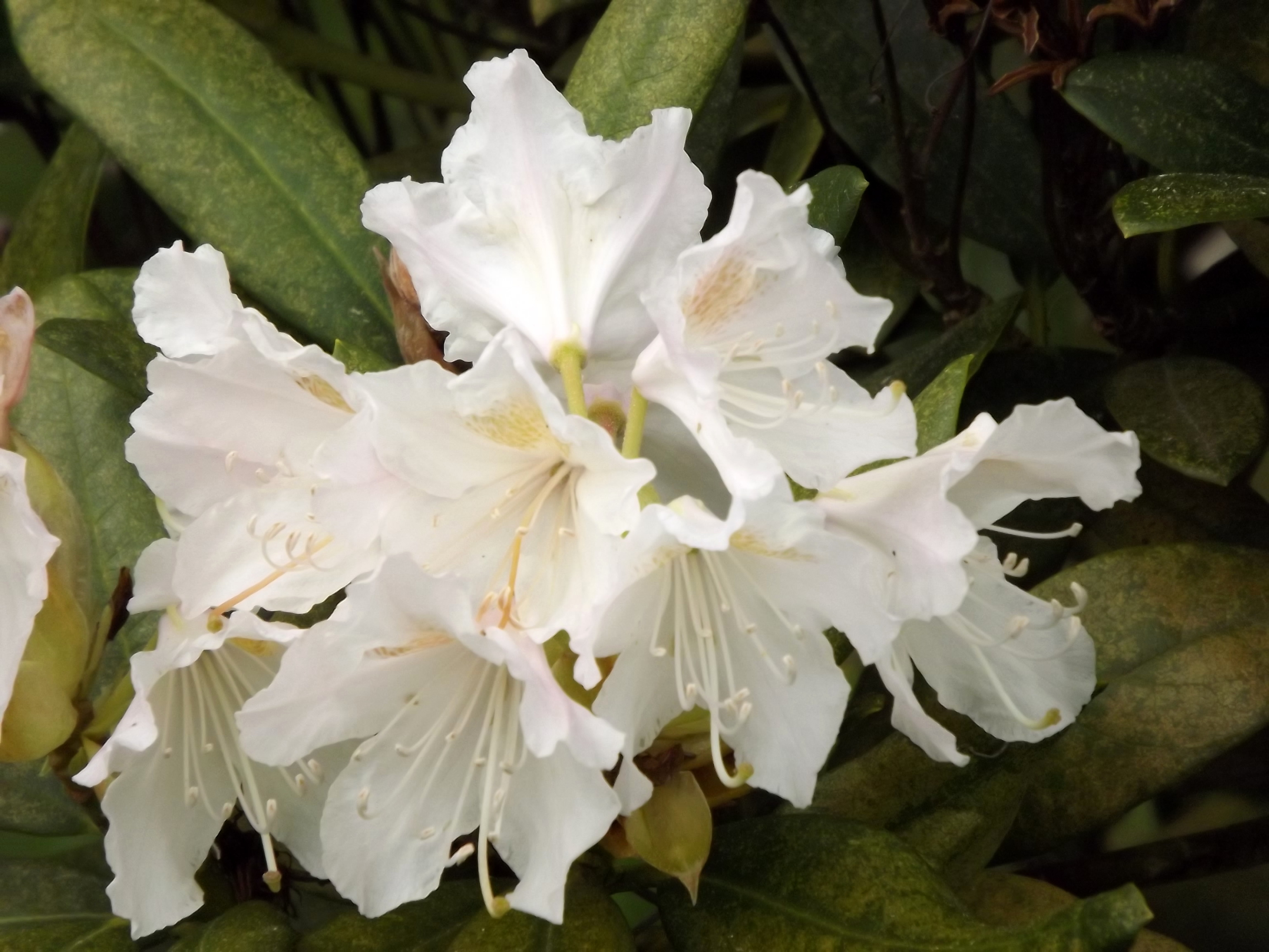 5994-rhododendron-weiss-rosa-blueten