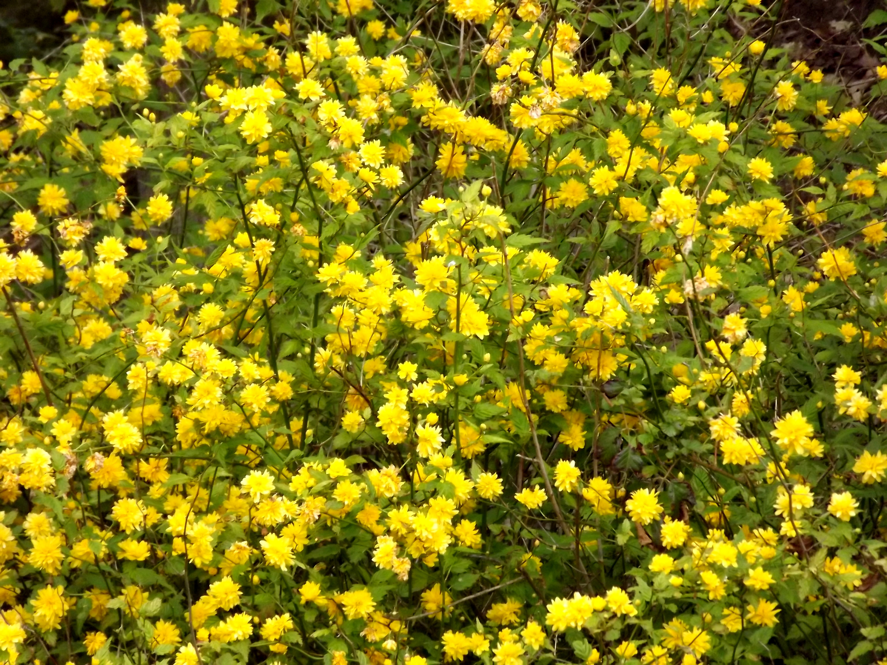 5998-viele-gelbe-blueten