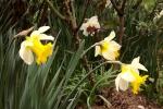 5887-gelbe-blueten-narzissen