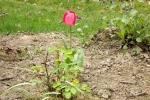 5895-tulpe-rose