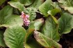 5899-rosa-blueten-grosse-gruene-blaetter