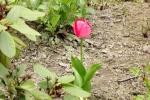 5905-rosa-tulpe