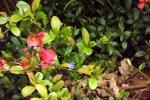 5917-rosa-quitten-blueten-gruene-blaetter