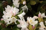 5992-rhododendron-weiss-rosa-blueten