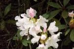 6002-rhododendron-weiss-rosa-blueten