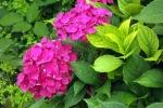 hortensienbluete