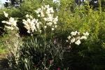 palmlilie