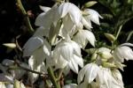 palmlilienbluete
