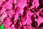 rote-hortensien-bluete-nah