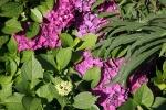 versteckte-hortensien-bluete